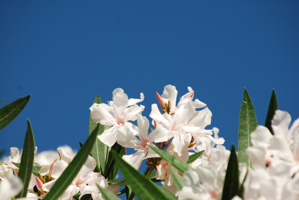 Oleandro zoom giornale di brescia for Oleandro riproduzione
